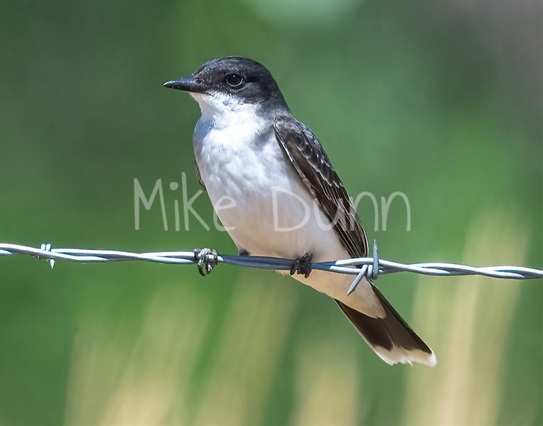 Eastern Kingbird-5