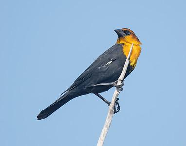 Yellow-Headed Blackbird-2