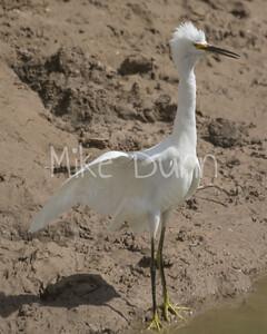 Snowy Egret-3