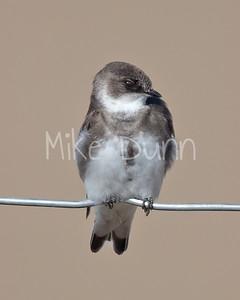 Bank Swallow-2