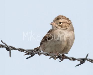 Brewer's Sparrow-4