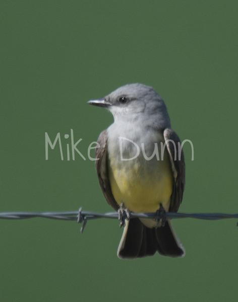Western Kingbird-3