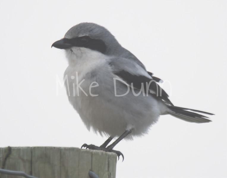 Loggerhead Shrike-4