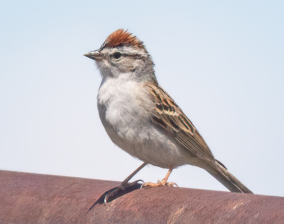 Chipping Sparrow-6