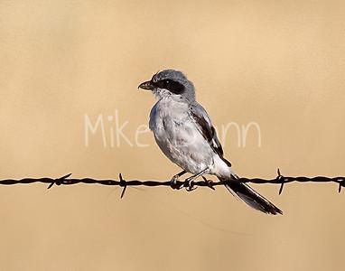 Loggerhead Shrike-16