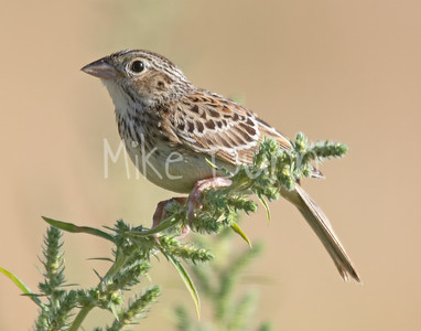 Grasshopper Sparrow-6