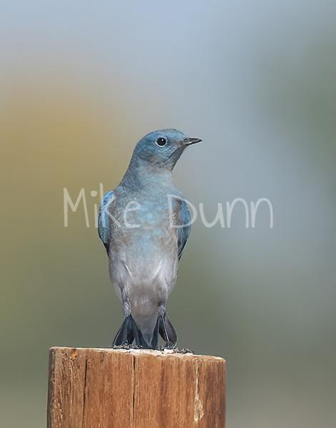 Mountain Bluebird-13