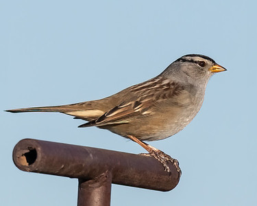 White-Crowned Sparrow-5