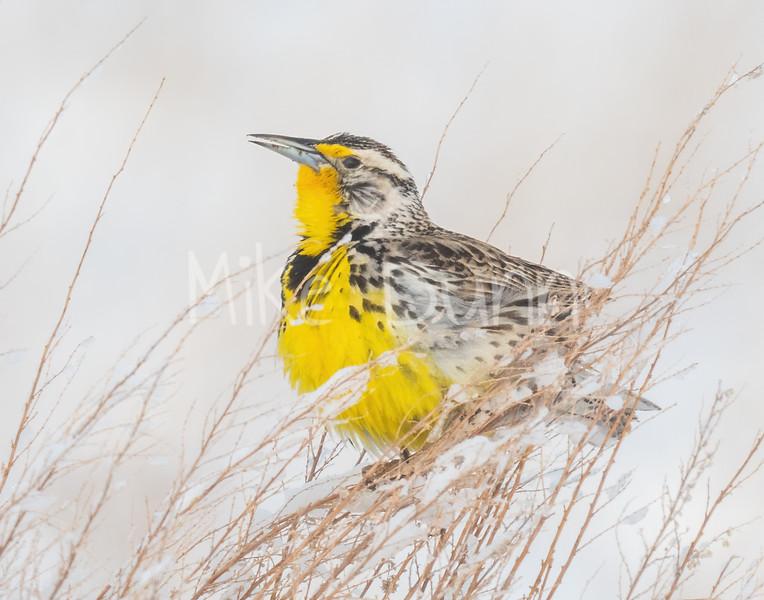 Western Meadowlark-5