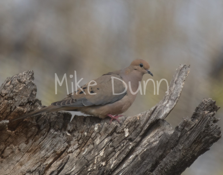 Mourning Dove-2