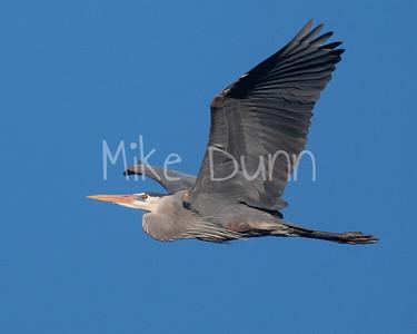 Great Blue Heron-2