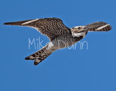 Common Nighthawk-4