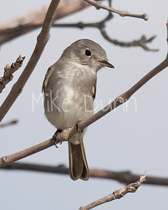 Gray Flycatcher-2