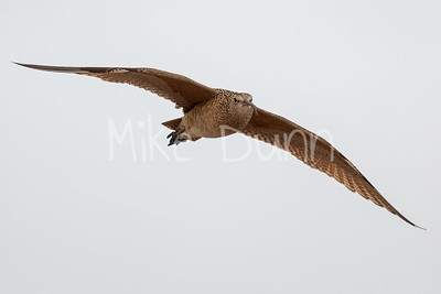 Long-billed Curlew-5