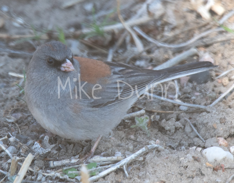 Dark-eyed Junco-8