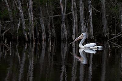Australian Pelican (Pelecanus conspicillatus) - Toorloo Arm, Victoria