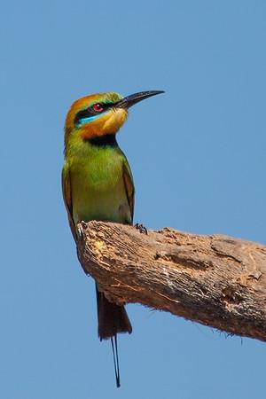 Rainbow Bee-eater (Merops ornatus) - Holmes Jungle Nature Park, Northern Territory
