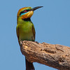 Rainbow Bee-eater (Merops ornatus) - Holmes Jungle Nature Park, Northern Territory