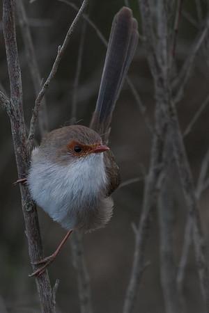 Superb Fairy-wren (Malurus cyaneus) - Serendip, Victoria