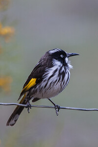 New Holland Honeyeater (Phylidonyris novaehollandiae) - Serendip, Victoria