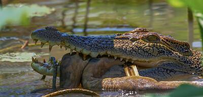 Saltwater Crocodile & Python - Corroboree Billabong