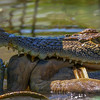 Saltwater Crocodile & Python - Corroboree Billabong