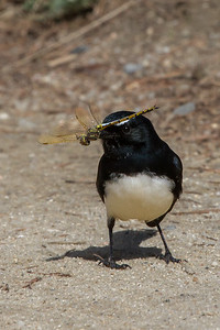 Willie Wagtail (Rhipidura leucophrys) - Point Cook Coastal Park, Victoria