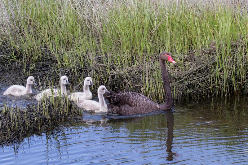 Black Swan (Cygnus atratus) - Werribee Treatment Plant, Victoria