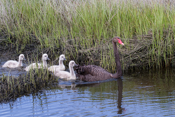 Black Swan (Cygnus atratus) - Werribee Treatment Plant, Victoria
