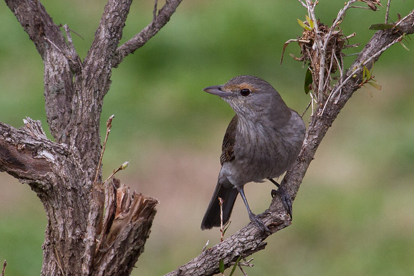 Grey Shrike-thrush (Colluricincla harmonica) - Lockyer Valley, Queensland