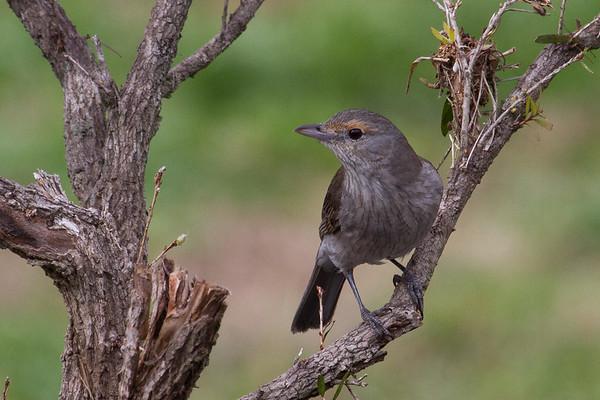 Grey Shrike-thrush (Colluricincla harmonica) - Lockyer Valley, Queensland