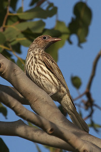 Australasian Figbird (Sphecotheres vieilloti) - Pine Creek, Northern Territory