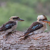Laughing Kookaburra (Dacelo novaeguineae) - The Royal National Park (Sydney), New South Wales