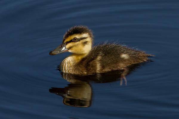 Pacific Black Duck (Anas superciliosa) - Melbourne Botanic Gardens, Victoria