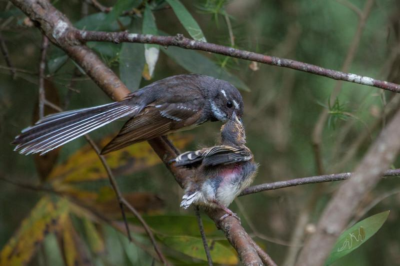 Grey Fantail (Rhipidura albiscapa) -Healsville, Victoria