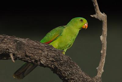 Red-winged Parrot (Aprosmictus erythropterus) - Pine Creek, Northern Territory