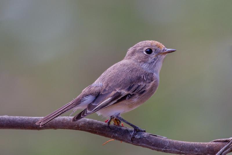 Red-capped Robin (Petroica goodenovii) - Bartleys Block (Chiltern), Victoria