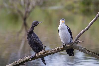Little Black Cormorant (Phalacrocorax sulcirostris) + Little Pied Cormorant (Phalacrocorax melanoleucos) - Coolart, Victoria