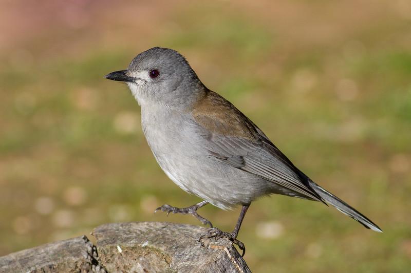 Grey Shrike-thrush (Colluricincla harmonica), Kara Kara National Park, Victoria