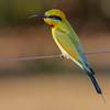 Rainbow Bee-eater (Merops ornatus) - Dripstone, Northern Territory