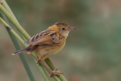 Golden-headed Cisticola (Cisticola exilis) - Werribee Treatment Plant, Victoria