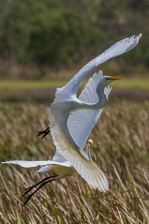 Great Egret (Ardea alba) - Town Common Conservation Park (Townsville), Queensland