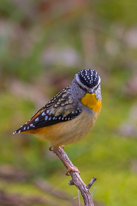 Spotted Pardalote (Pardalotus punctatus) - Clarkesdale, Victoria