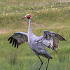 Brolga (Grus rubicunda) - Bannockburn, Victoria