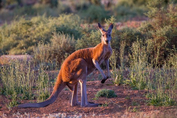 Red Kangaroo (Macropus rufus) - Gluepot, South Australia