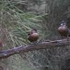 Chestnut Teal (Anas castanea) - Serendip, Victoria
