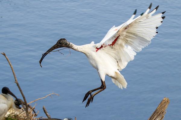 Australian White Ibis (Threskiornis molucca) - Coolart, Victoria