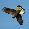Yellow-tailed Black-Cockatoo (Calyptorhynchus funereus) - Clarkesdale, Victoria