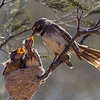 Grey Fantail (Rhipidura albiscapa) - Wallaby Gully Flora Reserve (Euroa), Victoria