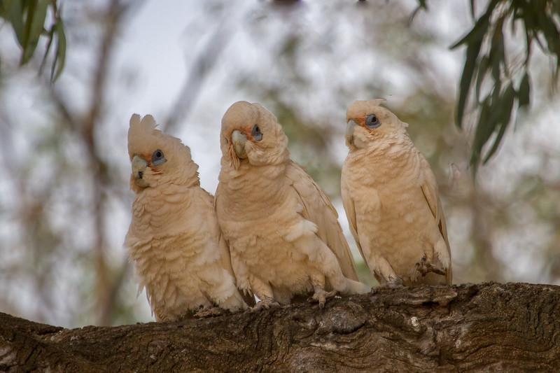 Little Corella (Cacatua sanguinea) - Orroroo, South Australia